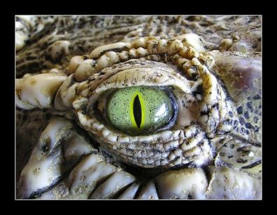 croc-eye-large