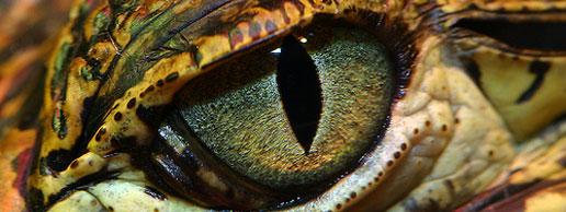 croc-eye