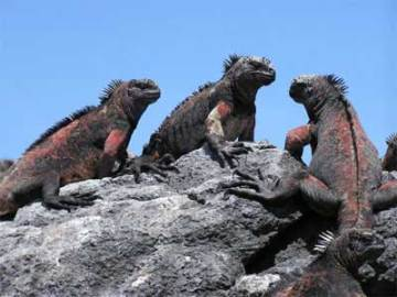 marine-iguanas